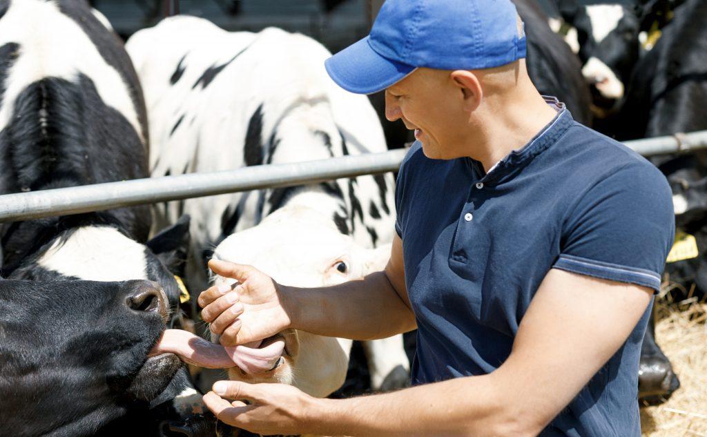 Milchbauer mit Kühen im Stall