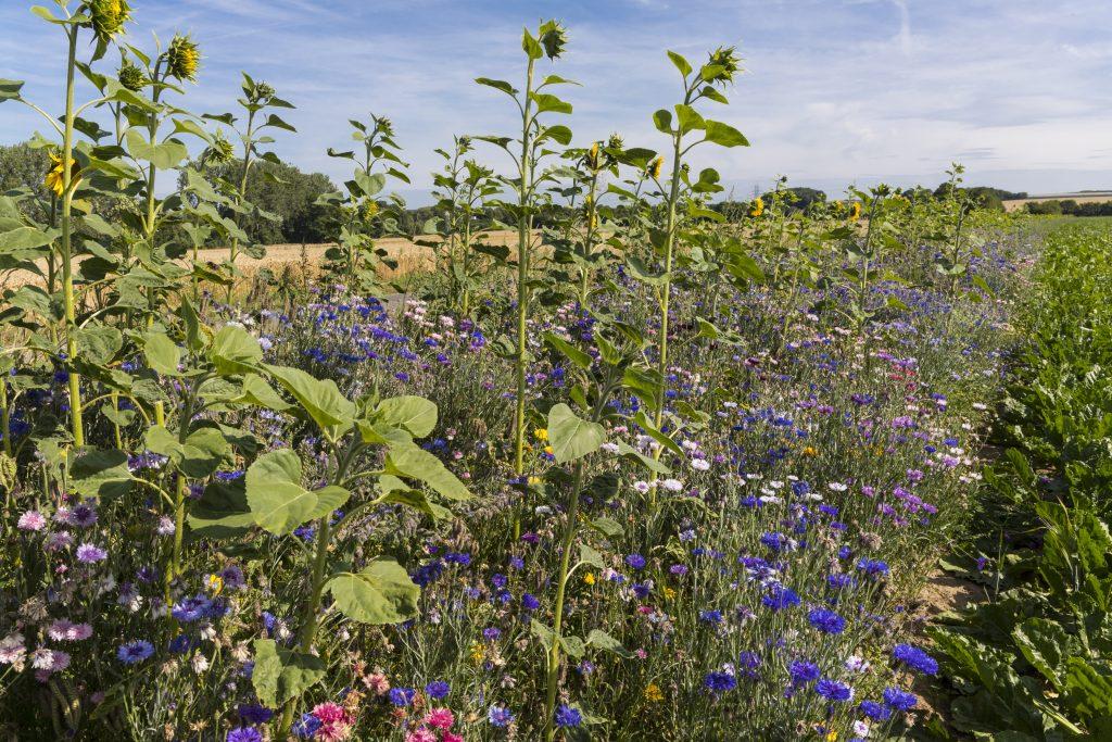 Blühstreifen, Ökolandbau, Förderung