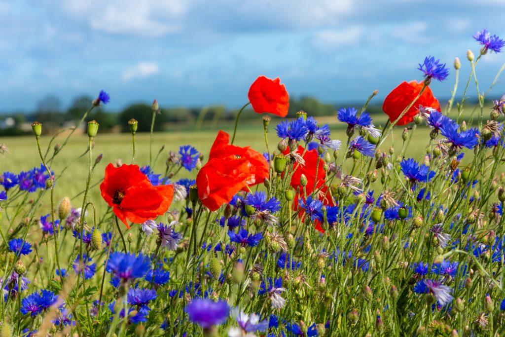 Artenvielfalt, Bienen, Blühstreifen, Blumen, Feldrand, Feld, Biodiversität