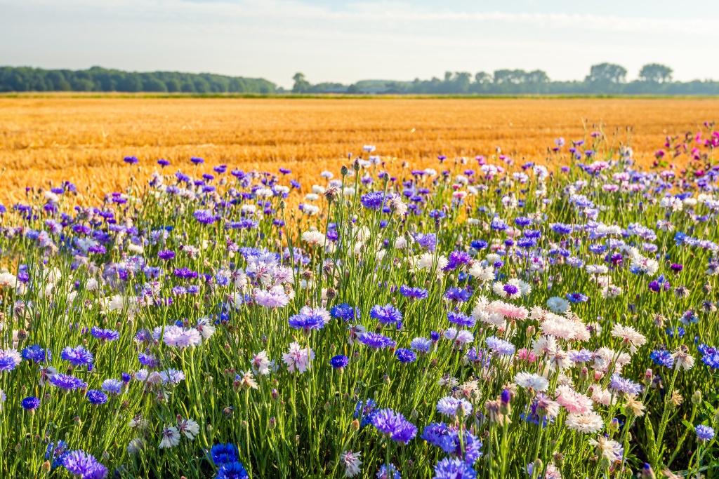 Blühende Wiese und Feld
