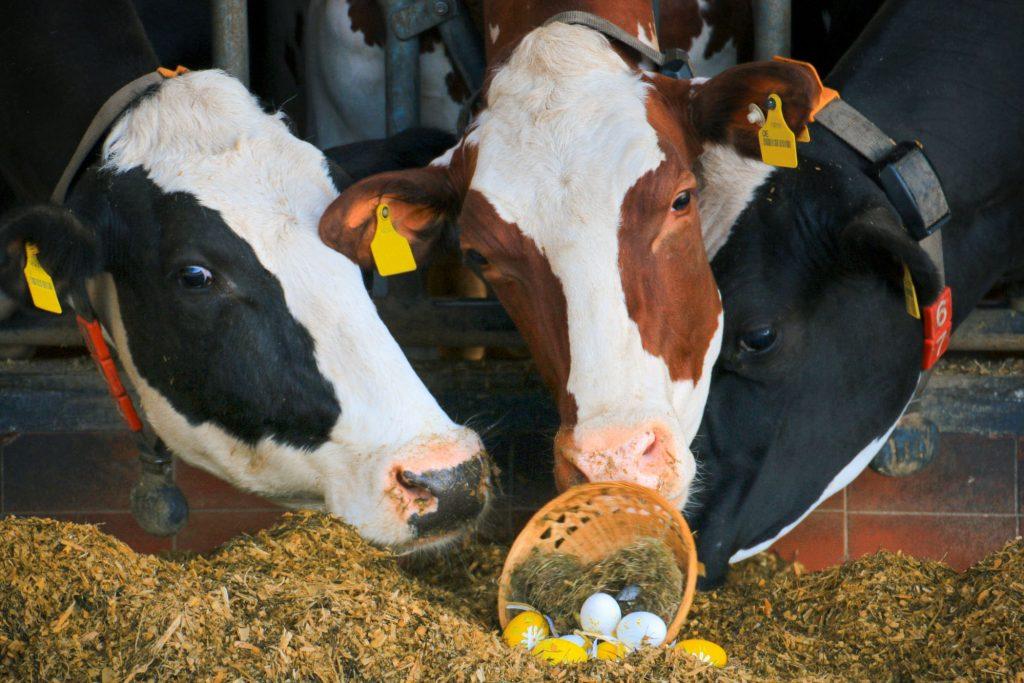 Drei Kühe mit Osternest im Stall