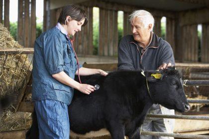 Tierärztin untersucht Kalb und Landwirt