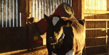 Kuh mit Kuhbürste im Kuhstall