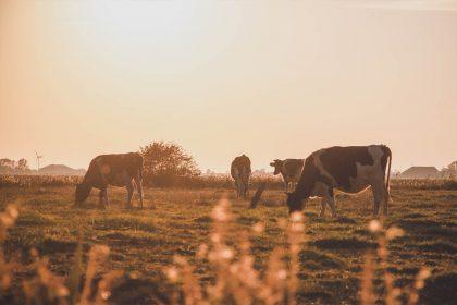 Weidende Kühe mit Sonnenuntergang