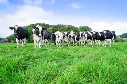 Kuhherde auf Weide
